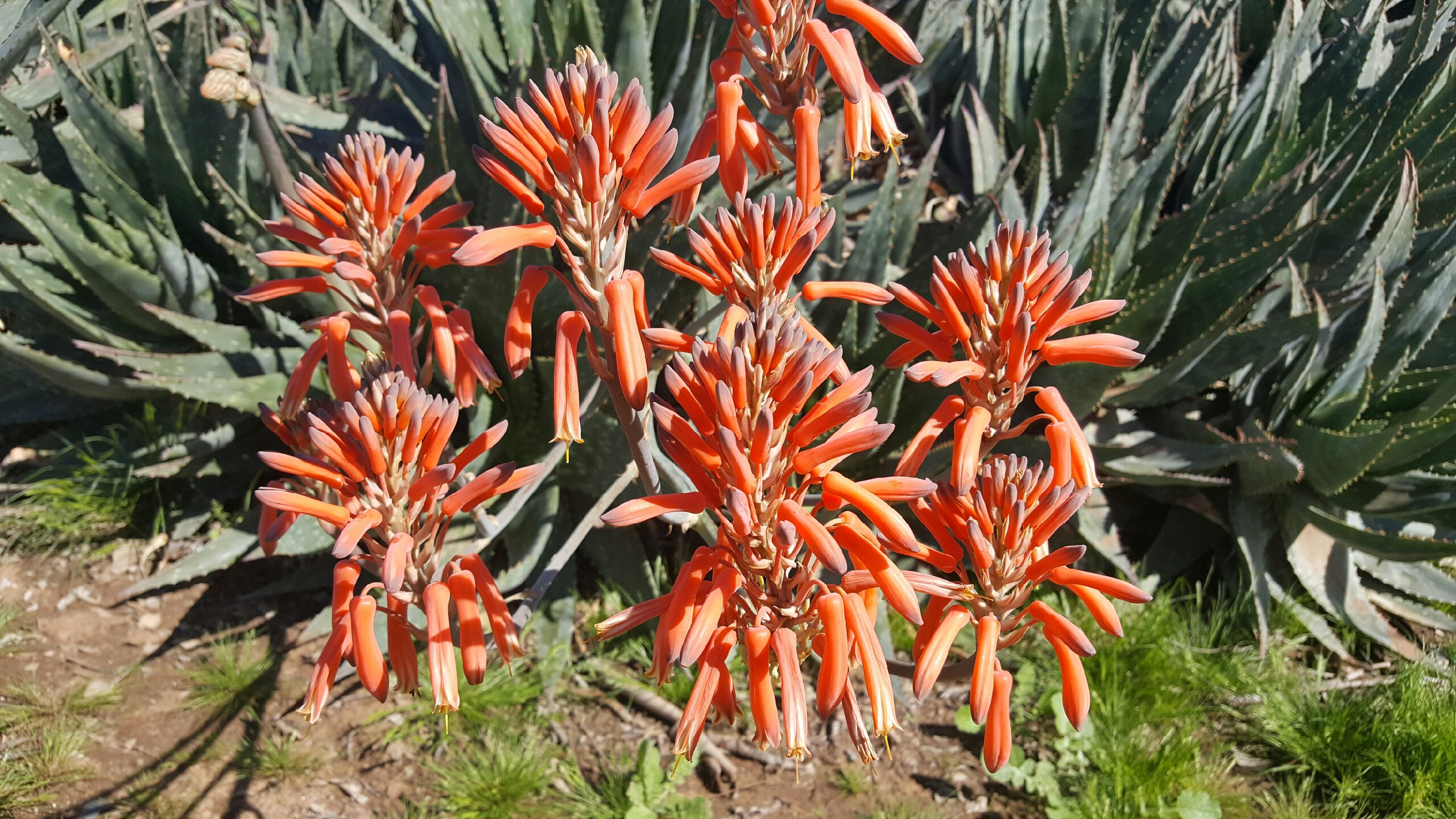 Aloe Walk, JMDC, Nursery